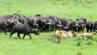 Львы против стада буйволов! HD
