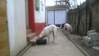 DOGO ARGENTINO hunting car tire