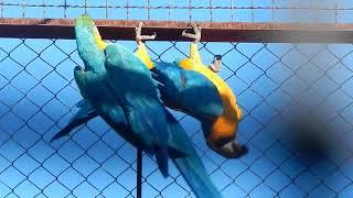 Поразительные попугаи ара!