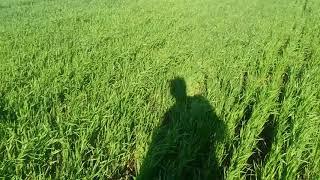 Обзор озимой пшеницы после подкормки карбомидом спустя месяц. Сложные удобрения. ФАКТЫ.