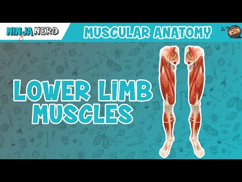 Muscles of the Lower Limb | Anatomy Model