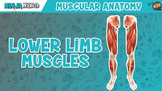 Muscles of the Lower Limb   Anatomy Model