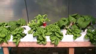 Pruning Moringa & Hydroponic Lettuce Update