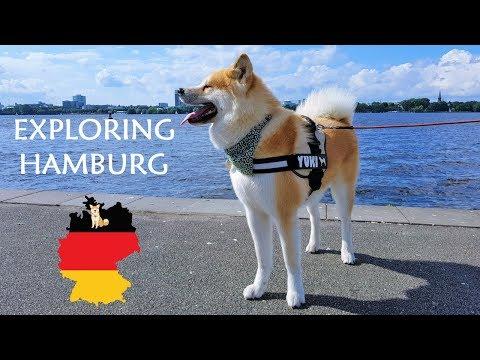 Akita Inu - Exploring Hamburg City (秋田犬)