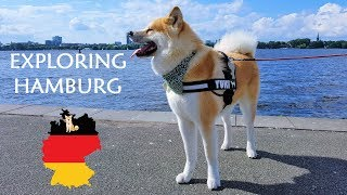 Akita Dog - Yuki, the Japanese Akita, is exploring Hamburg, one of ...