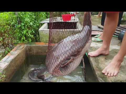 Nuôi cá trê làm thú cưng (Raising catfish as a pet)