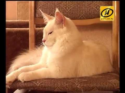 Купить котенка мейн куна. Купить кошку мейн кун.Телефон:+7 906 397 .