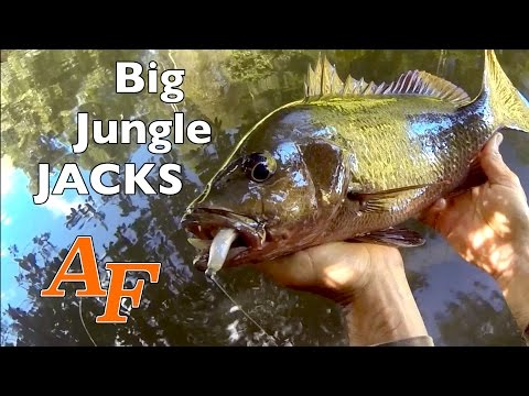 Fishing Big Jungle Jacks On Foot Andysfishing Andy's Fish Video EP.266