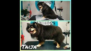 Finnish Lapphund  Taija's Dog Grooming TransFurMation
