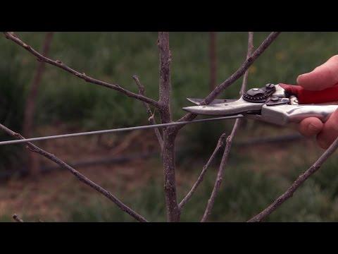 Training Young High Density Apple Trees | Conduite des nouveaux vergers de pommier