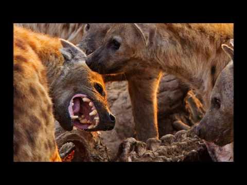 Spotted Hyena: Hidden secrets