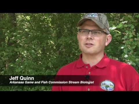 American Eel Research On The Caddo River