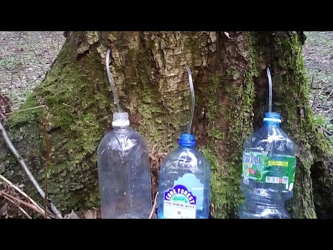 Как собирать берёзовый сок своими руками | Когда собирать берёзовый сок