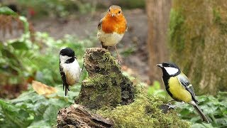 Videos for Cats and Dogs to Watch : Little Chirping Birds