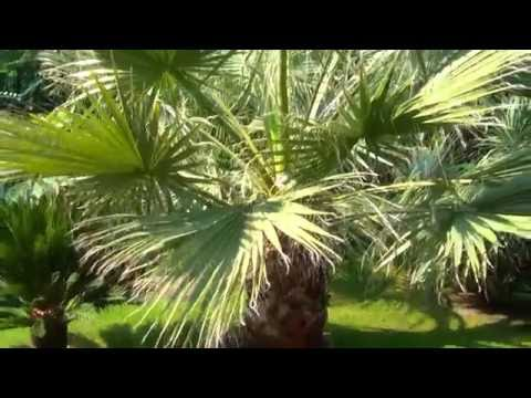 Washingtonia filibusta 2016 10. 01.