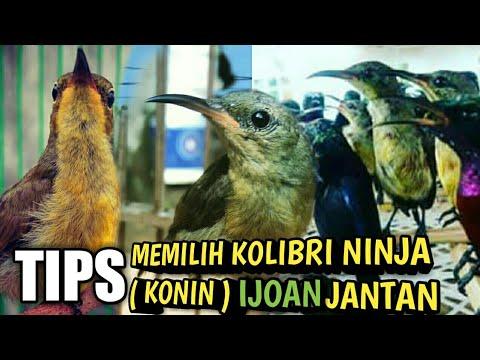 Tips Memilih Kolibri Ninja (Konin) Ijoan Jantan Dikandang Ombyokan