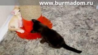 """Бурманские котята питомник """"Moorish Hunter"""""""