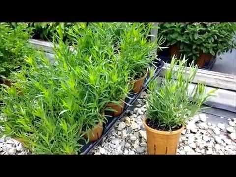 Best Herbs -  French Tarragon