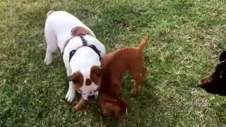 Epic Bulldog Play Fight With A Sharpei Lab Mix. Mini Guy Has A Strong Personality. Dog Match!