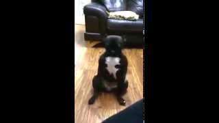 French Bulldog Uptown Funk Lola Style