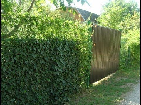 Забор из сетки рабицы. ЧЕМ ЗАКРЫТЬ ЗАБОР ИЗ СЕТКИ РАБИЦЫ