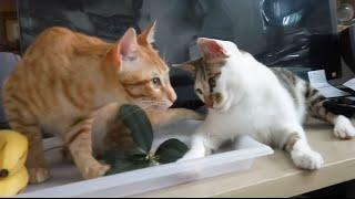 猫ちゃん。。キンモクセイの花も食べるの!? 20160403 BGM:::MUSMUS.