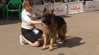 НЕМЕЦКАЯ ОВЧАРКА ДЛИННОШЕРСТНАЯ, видео с выставки собак