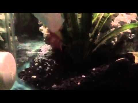 Jewel Cichlid Fish Tank