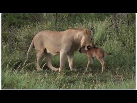 Leone gioca con piccolo di gnu