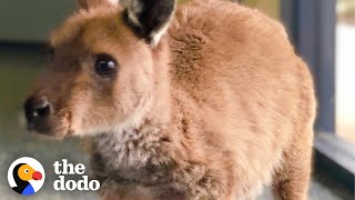 Orphaned Baby Kangaroo Meets His New Family For The First Time | The Dodo Wild Hearts