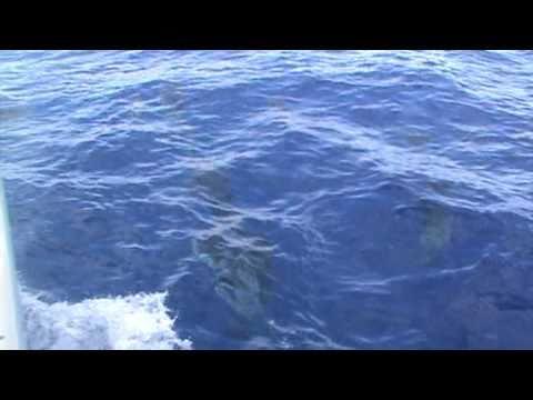 Dolfijnen Show bij de Azoren