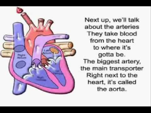 The Circulatory Song! YouTube