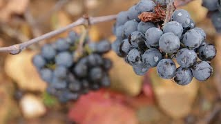 """A """"classic"""" year in prospect for Beaujolais Nouveau"""