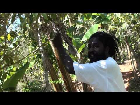 Plantation Of Marihuana - Nine Miles - Jamaica