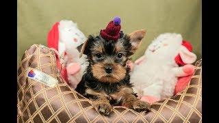 Щенок -девочка йорка/купить йорка / купить щенка йоркширского терьера/питомник йоркширских терьеров