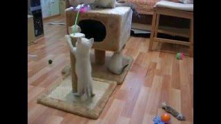 Тайская кошка и котята - милые создания! Тайские кошки - это чудо! Funny Cats