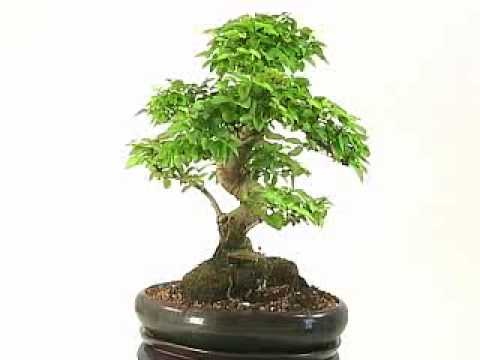liguster bonsai youtube. Black Bedroom Furniture Sets. Home Design Ideas