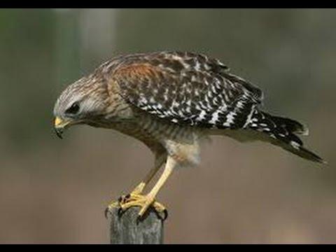 Steven the hawk