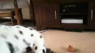 Dalmatian Barking