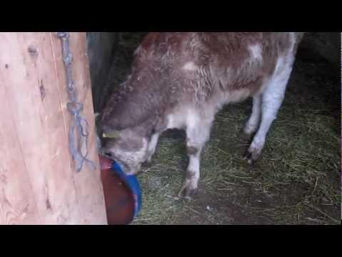 Cow showing symptoms most probably of rabies ARALIK/IĞDIR/TÜRKİYE