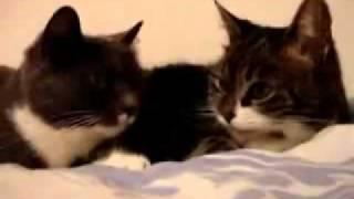 Две кошки говорят