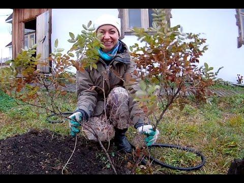 Вопрос: Шиповник это кустарник или дерево?