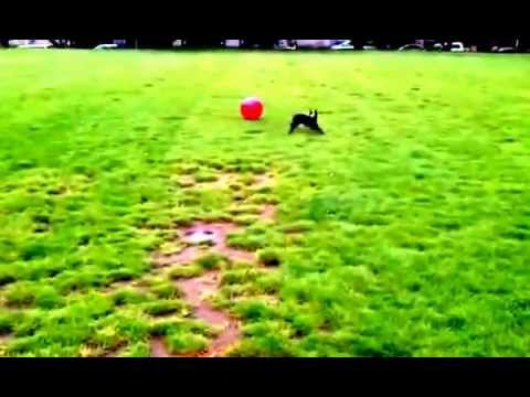 Dog Flips Over A Big Ball (There is a God)