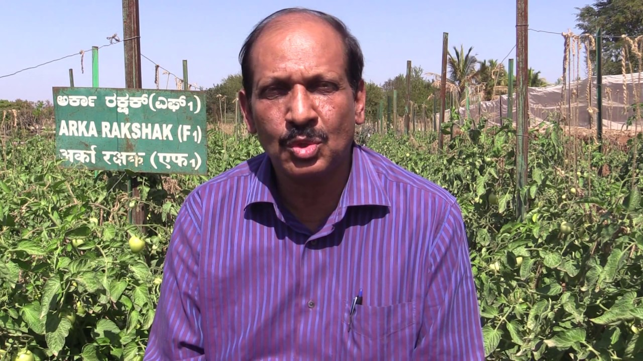 IIHR Tomato documentary on ARKA Rakshak