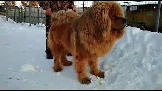 Собака лев - тибетский мастиф - http://beliy-lekar.ru/