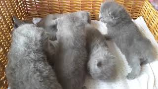 British Shorthair. After dinner is play time *Calmcat cattery British Shorthair