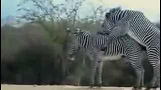Зебры тоже трахаются, да еще как! Посмотри на это!!!)