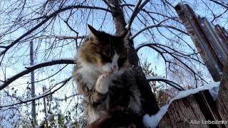 Siberian cats, Snow,Сибирские кошки, Снег, Pooh , Lapych,Tyoma, Rych, Пух и Лапыч, 18 октября 2014