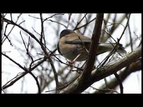 Dark-Eyed Junco Springtime mating call