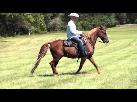 Neck Reining Sorrel Tennessee Walking Horse Gelding for sale